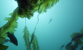 Cashes Ledge, near the Coral Canyons and Seamounts, contains the largest continuous kelp forest in the northeast shelf of the United States.