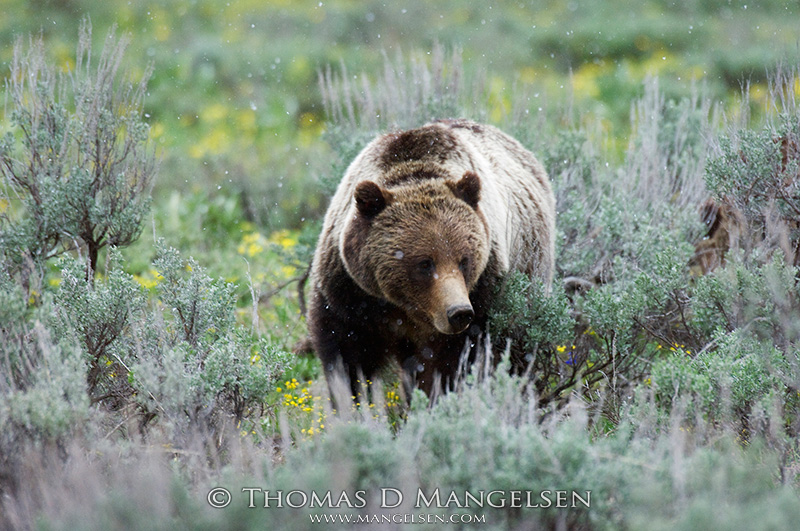 Grizzly 399 walks through sagebrush during a spring snowfall in Grand Teton National Park, Wyoming. May 22, 2007.