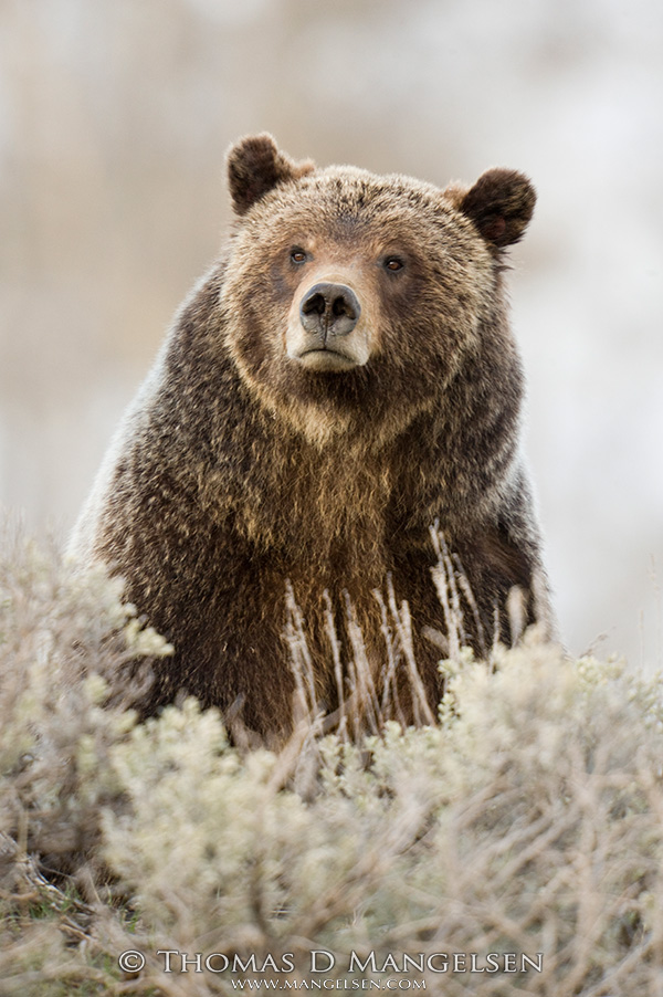 Grizzly 399 pauses in her foraging among the sagebrush.