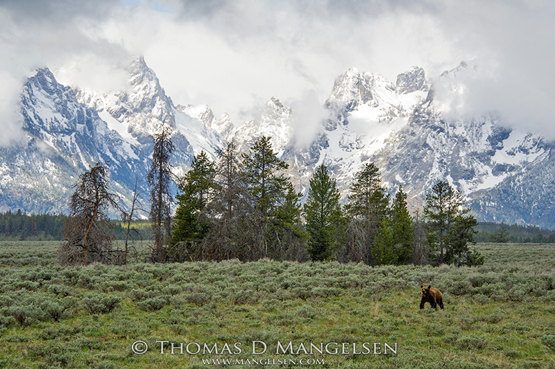 One of Grizzly 399's cubs walks across the sage flats below the Tetons.