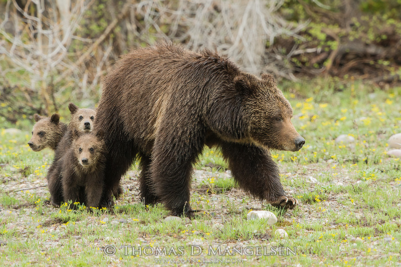 Silver-tipped Grizzly 399 surveys a meadow, looking for potential dangers for her three young cubs.