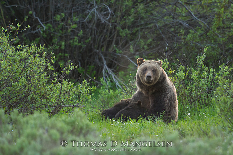 Grizzly 610, one of Grizzly 399's daughters, nurses her two cubs in a meadows.