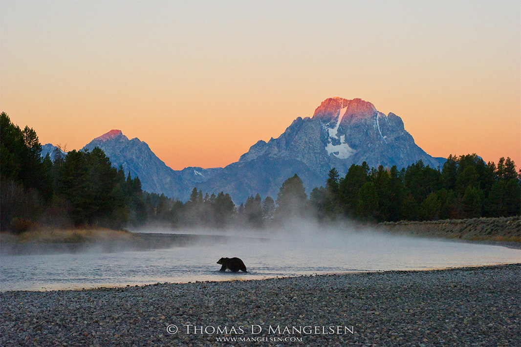 First light strikes the summit of Mount Moran, as a female grizzly wades a shallow bend in the Snake River in Grand Teton National Park, Wyoming.