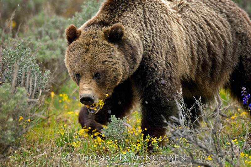 A grizzly bear grazes on sulphur flowers in Grand Teton National Park, Wyoming. May 22, 2007.