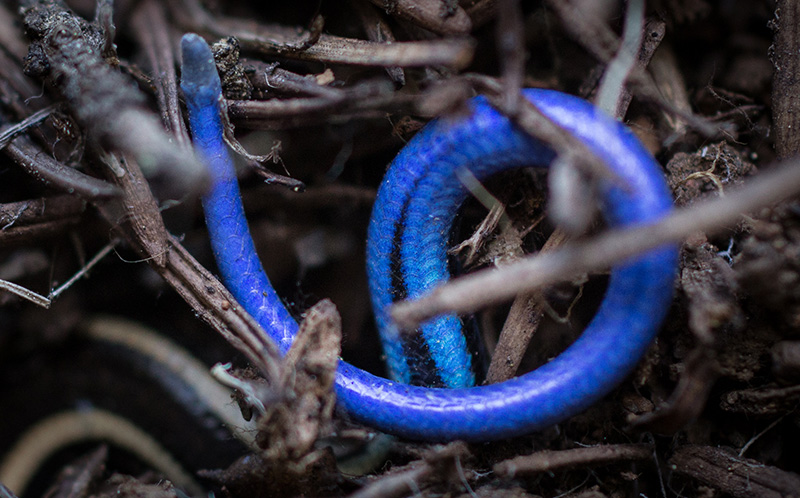 Tail of juvenile western skink.