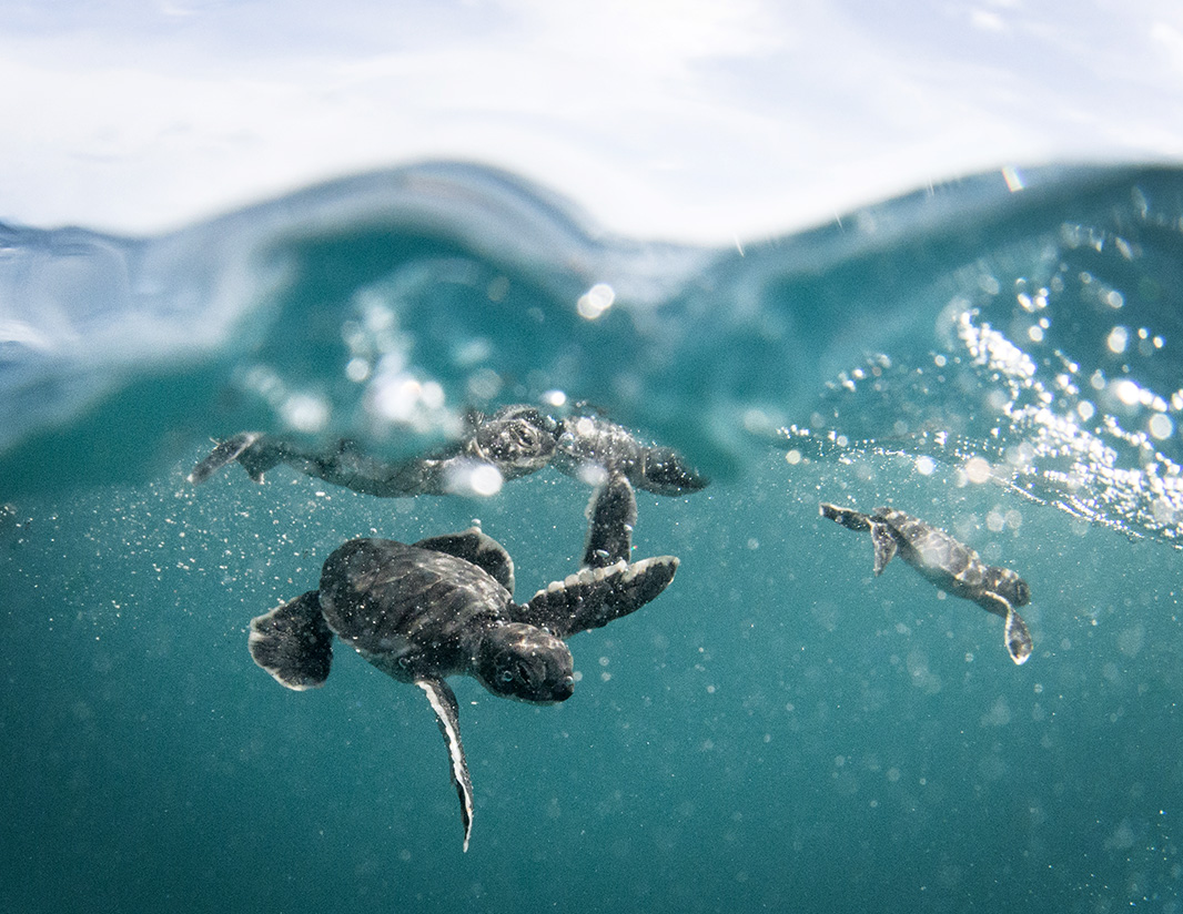 Baby honu (Hawaiian green sea turtles, Chelonia mydas).