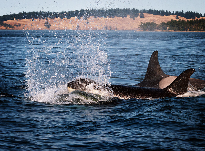 Members of K Pod swim near San Juan Island.