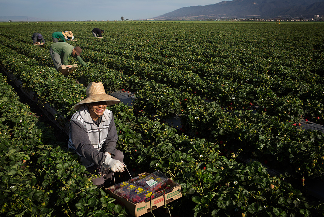 A farmworker gathers strawberries in Salinas, California.