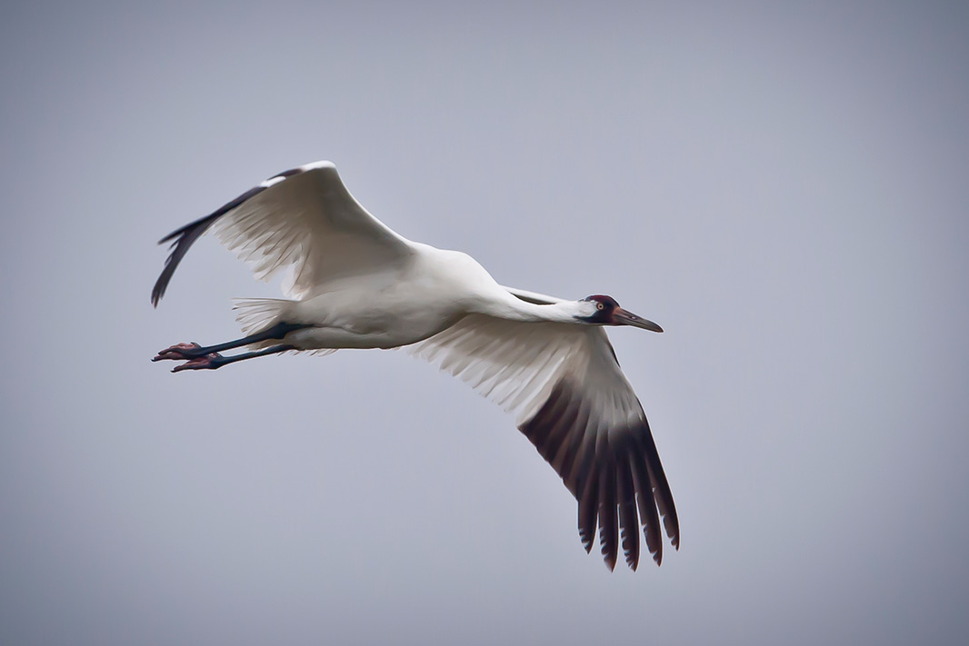 A whooping crane.