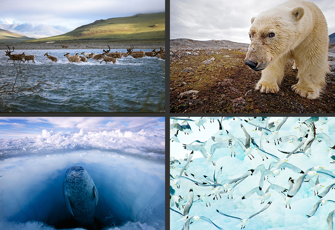 Clockwise from top left: Porcupine caribou herd crossing Kongakut River. (Gary Braasch via NWF / CC BY-NC-ND 2.0) A male polar bear has its portrait taken by a camera trap. (Paul Nicklen / National Geographic Creative) Kittiwakes, one of many migratory bird species found in the Arctic region, spend most of their time at sea, nesting in steep cliffs. (Ralph Lee Hopkins / National Geographic Creative) A ringed seal is on the lookout for polar bears as it surfaces. (Paul Nicklen / National Geographic Creative)