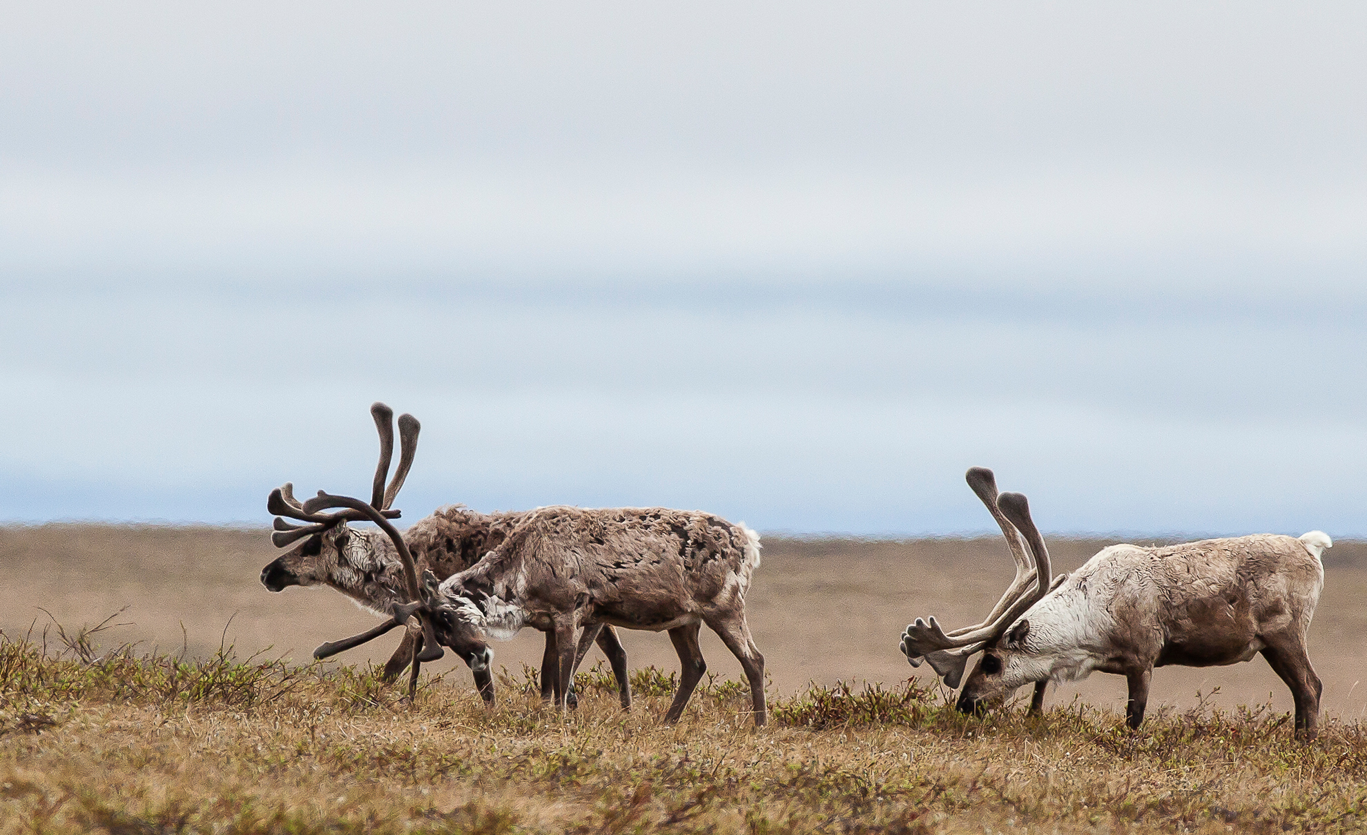 Caribou near Teshekpuk Lake in the Western Arctic.