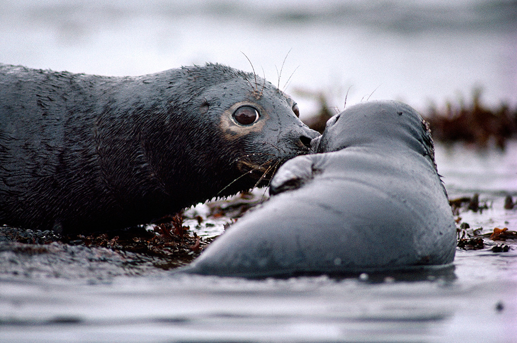 A seal and pup covered with oil, during the Exxon Valdez spill in Prince William Sound, Alaska, in 1989.