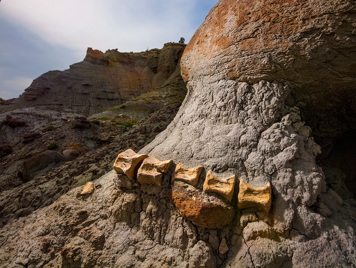 Exposed by wind and rain, a two-foot-long segment of a duck-billed dinosaur tail remains embedded in sandstone in Grand Staircase-Escalante National Monument.
