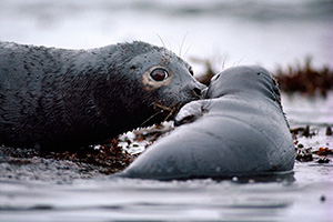 A seal and pup covered with oil, during the Exxon Valdez oil spill in Prince William Sound, Alaska, in 1989. (Natalie B. Fobes / National Geographic Creative)