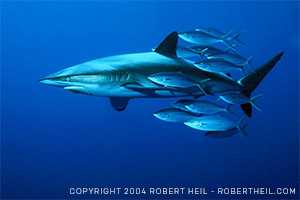 Dusky shark swims about 100 miles south of Cabo San Lucas in the Pacific Ocean. (Copyright (c) 2004 Robert Heil - www.robertheil.com)