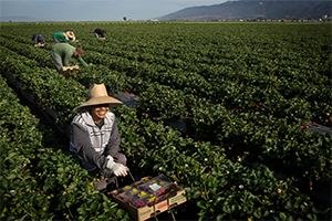 Agricultural workers harvest strawberries on a California farm. (Chris Jordan-Bloch / Earthjustice)