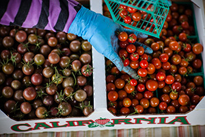 An agricultural worker sorts tomatoes on a California farm. (Dave Getzschman for Earthjustice)
