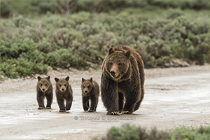 Grizzly 399 and her three cubs walk down a dirt road. May 19, 2013.  (Thomas D. Mangelsen)