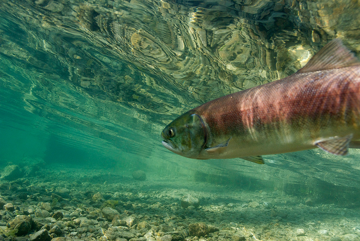 A sockeye salmon in Little Redfish Lake Creek. Oncorhynchus nerka. Sawtooth National Recreation Area, Idaho. (Neil Ever Osborne / Save Our Wild Salmon / iLCP)