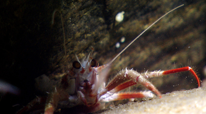 A squat lobster peeks out from under a rock in an intercanyon between Powell and Lydonia Canyons.