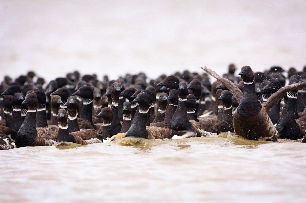 Black Brant geese (Branta bernicla nigricans) congregate to molt their flight feathers in the Teshekpuk Lake Special Area of the Western Arctic.