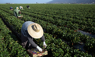 Farmworkers pick strawberries in a California field.