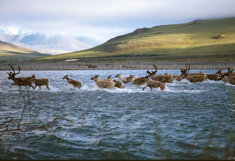 A porcupine caribou herd crosses Kongakut River in the Arctic National Wildlife Refuge.
