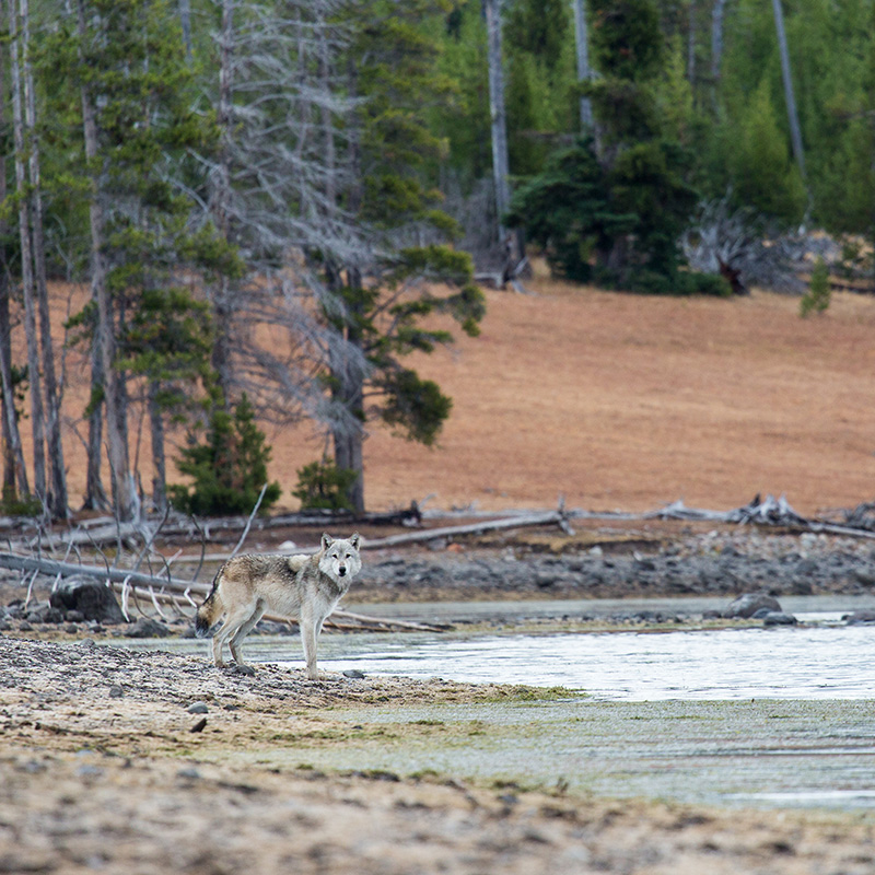 A gray wolf on the shore of Yellowstone Lake.