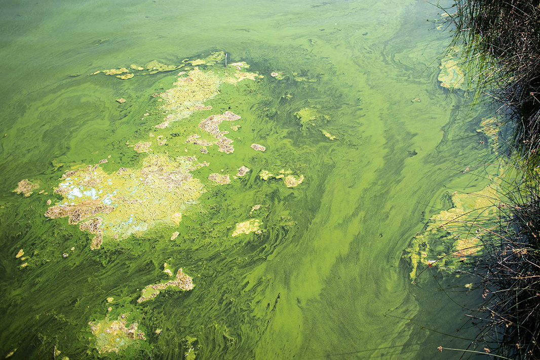 Toxic algae in the Klamath River near the Copco Dam. August 19, 2018.