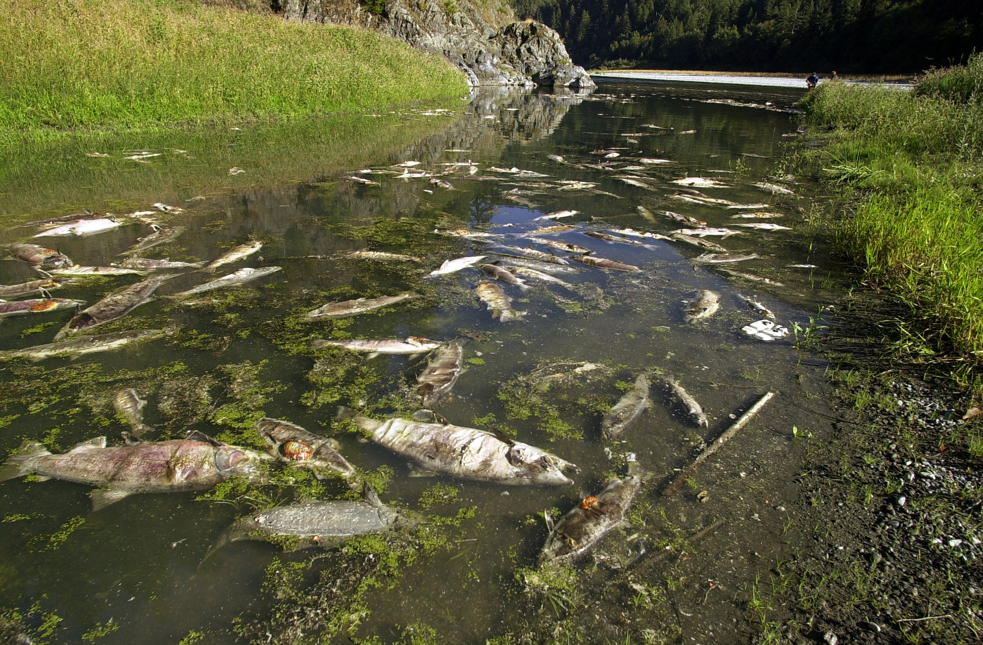 Dead salmon along the Klamath River near Klamath, Calif., after a disease outbreak that killed an estimated 60,000 salmon on Oct. 1, 2002.
