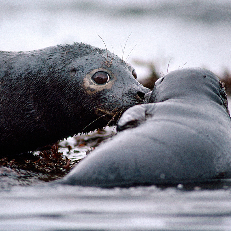 A seal and pup covered with oil, during the Exxon Valdez oil spill in Prince William Sound, Alaska, in 1989.