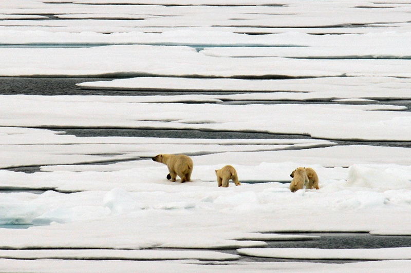 Polar bears in the Chukchi Sea.