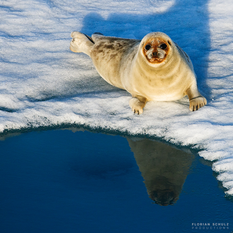 Ringed seal (Pusa hispida) rests near a breathing hole in the Beaufort Sea, Arctic Ocean.