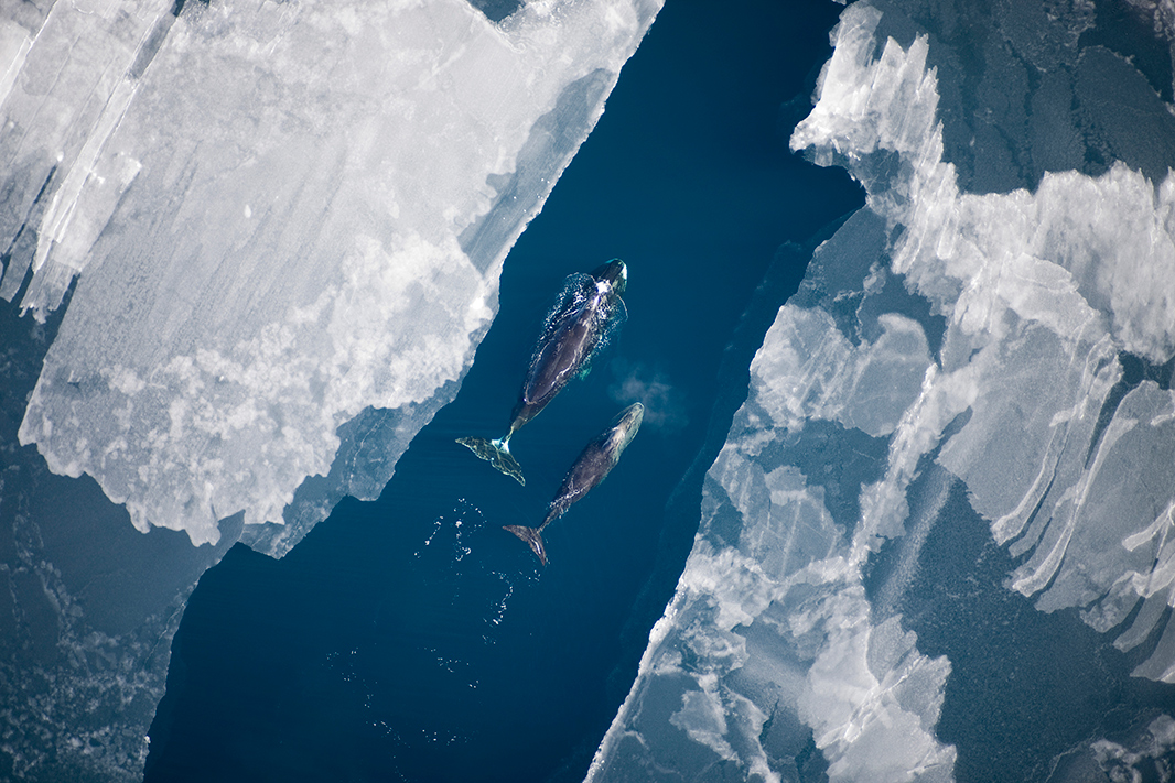 Bowhead whale in the Chukchi Sea.