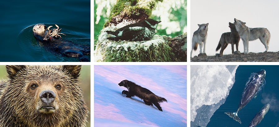 California sea otter; marbled murrelet; gray wolves; bowhead whales; wolverine; Yellowstone grizzly.