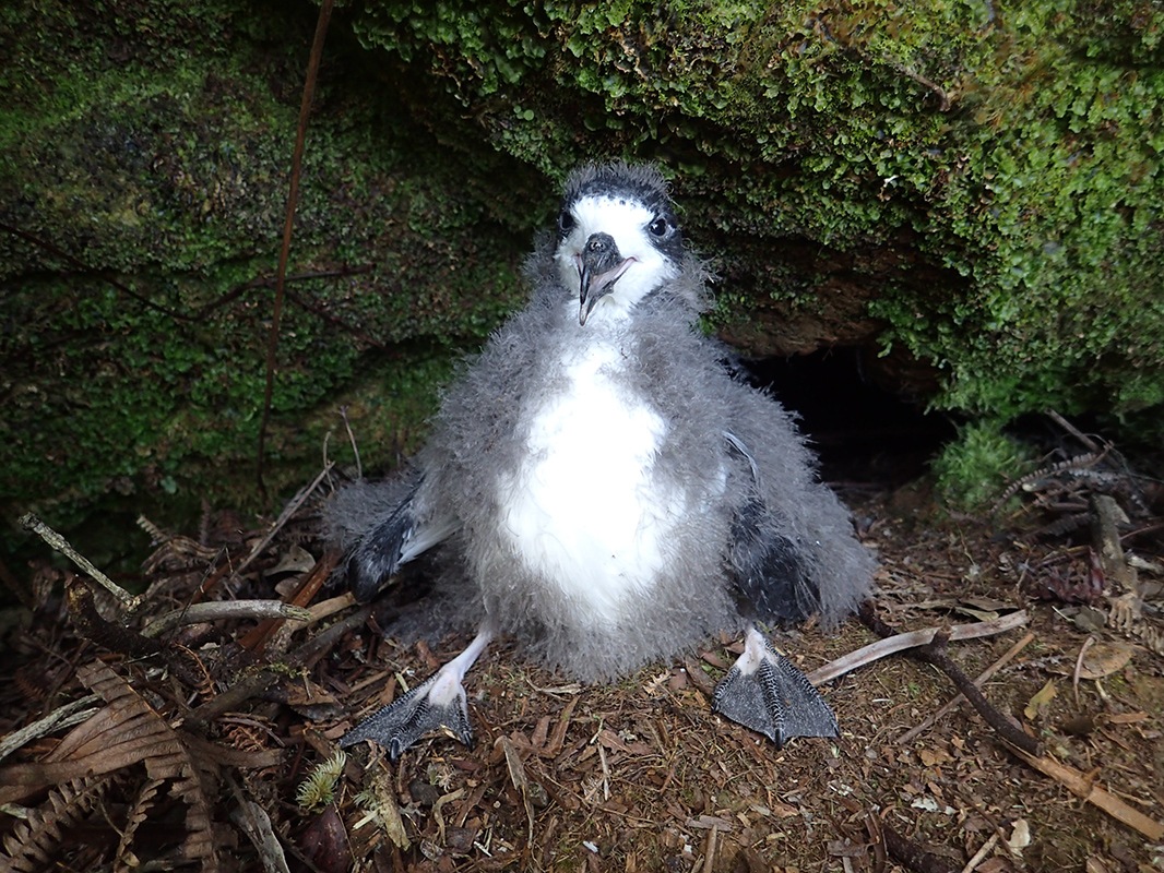 A Hawaiian petrel chick.