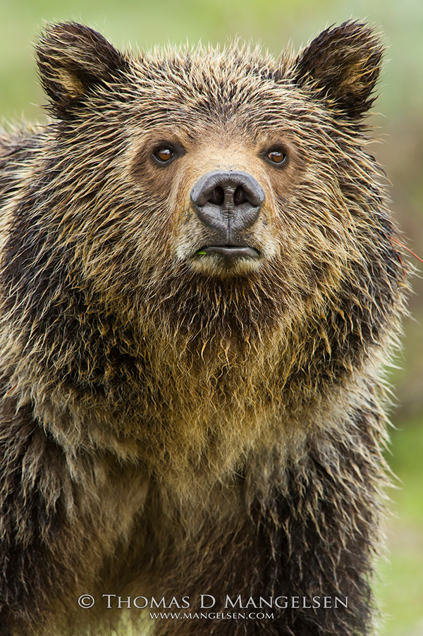 A small blade of grass in the corner of her mouth, this young grizzly takes a break from grazing to survey the meadow along Pilgrim Creek.