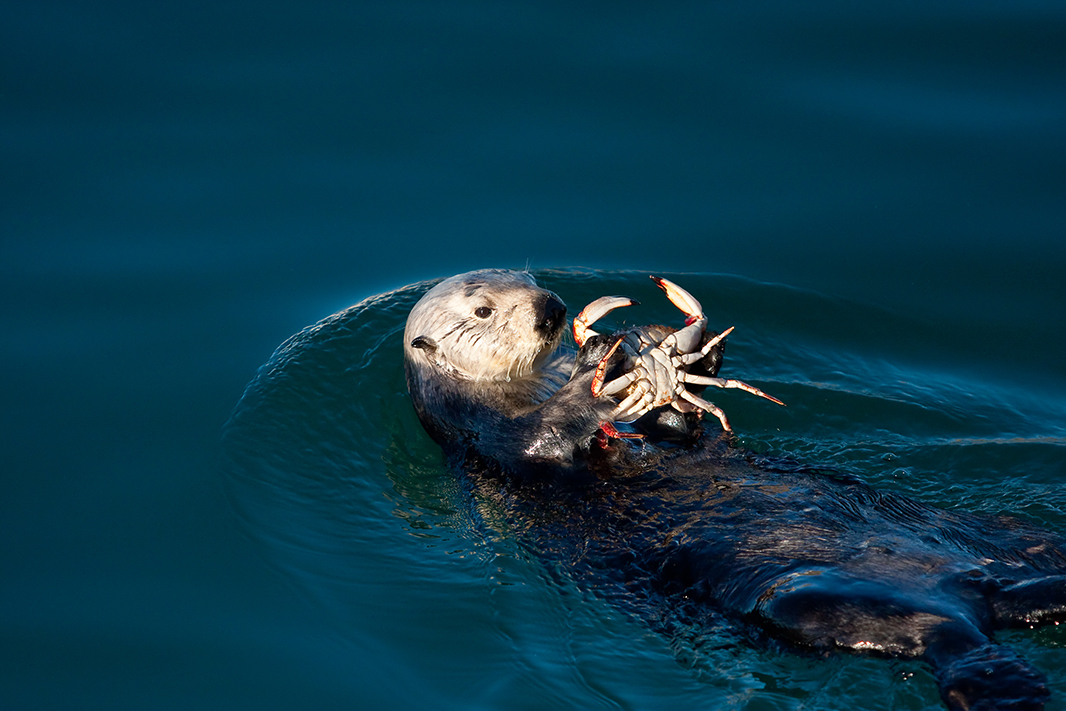 Sea otter dines on crab.