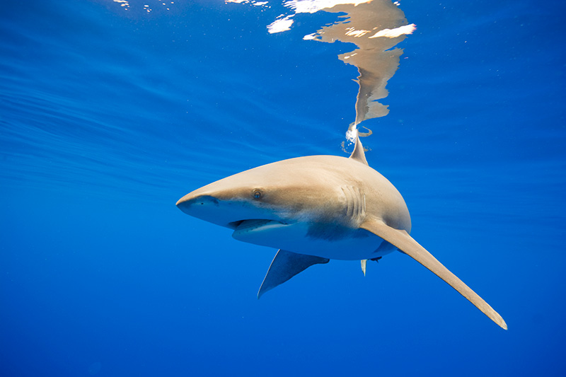 Oceanic whitetip sharks were historically one of the most abundant sharks in the world's oceans, but due to both U.S. and international fishing pressure, the population has declined significantly.