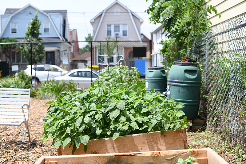 Rain barrels and raised garden beds filled with green vegetation in the East 43 St. Community Garden in Brooklyn.