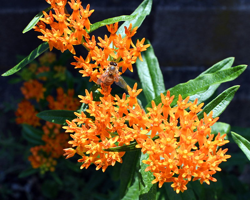 A bee lands on the orange flowers of the butterfly weed in the Elizabeth Street Garden in Manhattan.