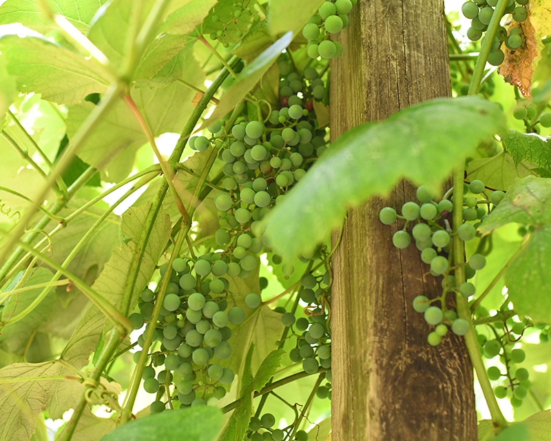 Clusters of green grapes growing beside a wooden stake in the Pleasant Village Community Garden.