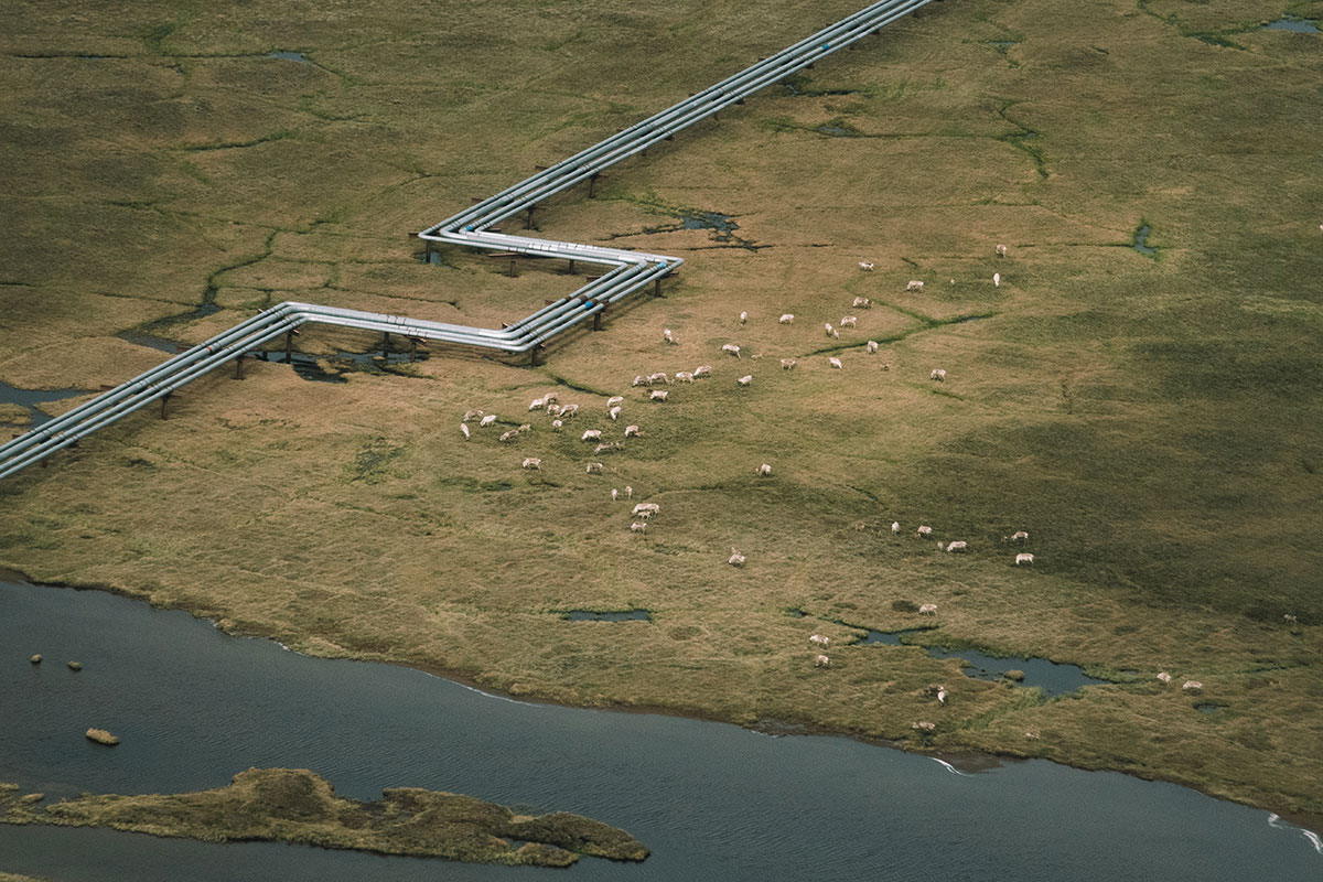 Pipeline and wildlife in the Western Arctic, around the Lake Teshekpuk area.