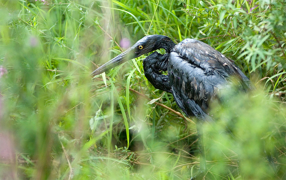 >An oil covered bird sits on the side of the Kalamazoo River after an oil spill of crude on Jul. 28, 2010 in Marshall, Michigan. A 30 inch-wide underground pipeline owned by Calgary, Alberta-based Enbridge Energy Partners LP, began leaking on Jun. 2, 2010.