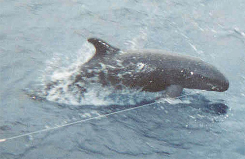 False killer whale, hooked on a longline. (NMFS)