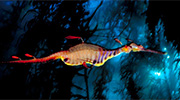 Weedy sea dragon. (David Doubilet)
