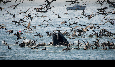 A surfacing humpback whale lunges for anchovies while brown pelicans clean up the remains. (Howard Ignatius)