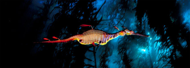 Weedy sea dragon, in the kelp forest of Tasmania, Australia. (David Doubilet / daviddoubilet.com)