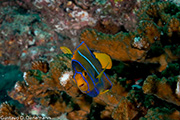 Angel fish in coral reef. (Gustavo Danemann)
