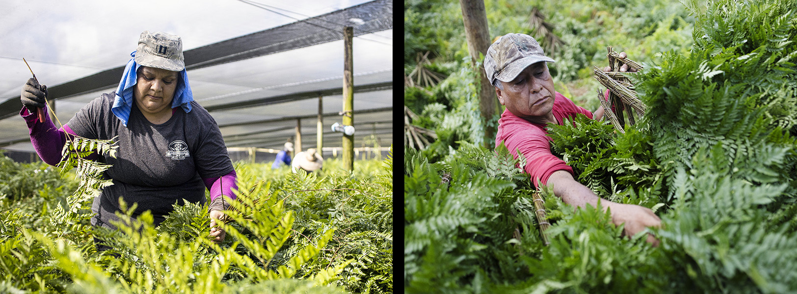 Griselda Lomeli, left, and Jesus Estrada pick ferns in Pierson, Florida.